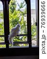 窓枠に座り外の様子を伺う白い猫 76939666