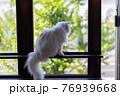 窓枠に座り外の様子を伺う白い猫 76939668
