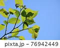 日差しを浴びた青々とした新緑の葉っぱ2 76942449