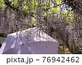 満開の藤の花とそれを見上げる女性の紫の日傘4 76942462