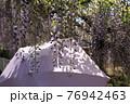 満開の藤の花とそれを見上げる女性の紫の日傘5 76942463