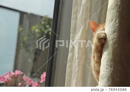 隠れているのにちょっとだけ見えてる猫アメリカンショートヘアレッドタビー 76943086