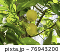 Sun shines through foliage of lemon tree. Fresh ripe fruits grow on branches. Agricultural gardening in Turkey. 76943200