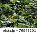 White duck sits in thicket of greenery. Farm bird hid in leaves to hatch its eggs. Green leaves are wet from rain. 76943201