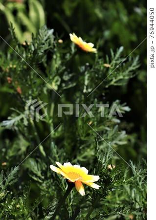 冬のお鍋に欠かせないシュンギクの花 76944050