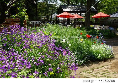 4月 多摩244ムラサキハナナ(紫花菜)・アブラナ科・多摩グリーンライブセンター 76960260