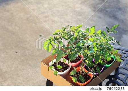 トマト苗 野菜苗 76962283