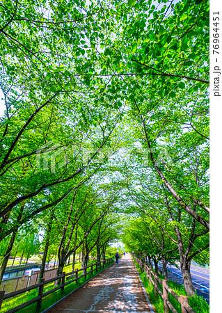 新緑の桜並木 76964451
