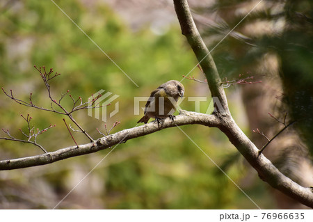 枝に止まってくつろぐイスカのメス 76966635