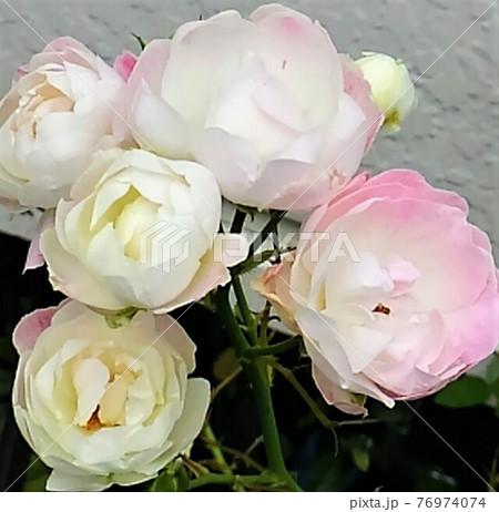 白とピンクの可憐な色合いのふっくらとしたバラの花束 76974074