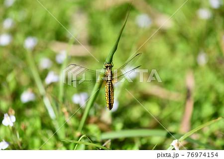 ハラビロトンボ(腹広蜻蛉)の♀ 76974154