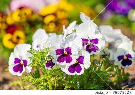 春の花 パンジーの咲く花壇 76975527