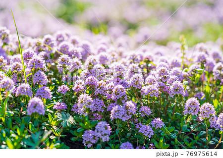 タイムが沢山咲く春の花壇 76975614
