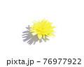 たんぽぽ白背景 76977922