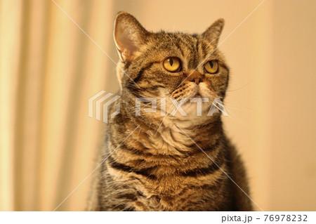 知らんぷりとぼける雰囲気の鼻ぺちゃ猫アメリカンショートヘアブラウンタビー 76978232