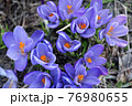 Blooming crocuses, beautiful first spring flowers. Wild purple crocuses in their natural environment in the forest. 76980655