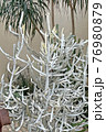 Vertical green plant and white cactus natural decoration in the greenhouse 76980879
