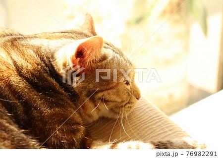 日の光が心地よさそうな猫アメリカンショートヘアシルバーパッチドタビー 76982291