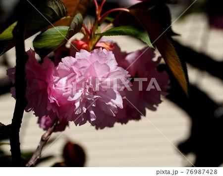 春の日差しを浴びた八重桜 76987428