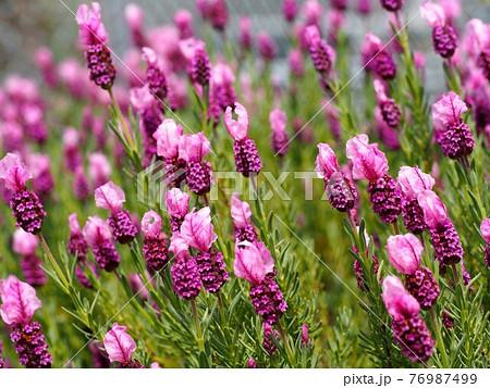 春風の中のフレンチラベンダー(ラヴェアンナ・ピンクロリポップ) 76987499