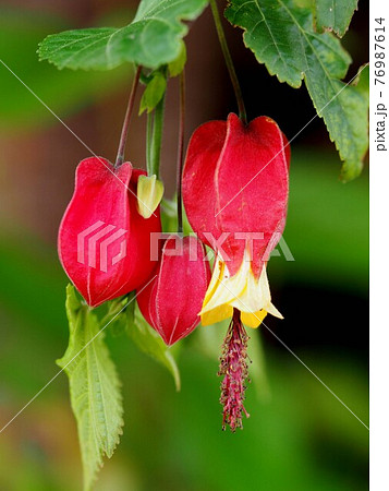ウキツリボク(チロリアンランプ)の花と蕾 76987614