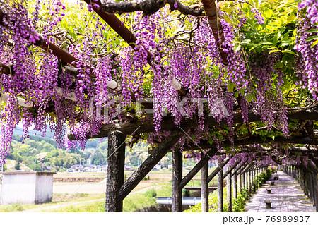 佐賀県嬉野の藤棚 紫のキレイな花 76989937