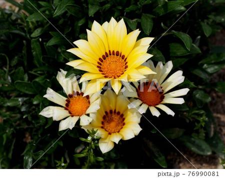 4輪の白と黄色のガザニア(黄色い花のクローズアップ) 76990081