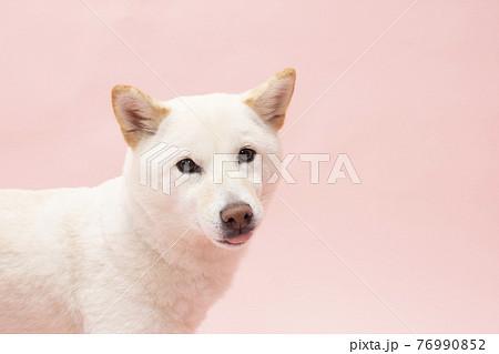 ピンクバックで微笑む柴犬 76990852