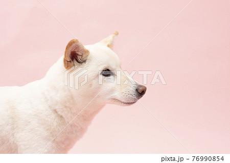 ピンクバックで微笑む柴犬 76990854