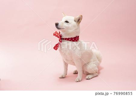 ピンクバックで赤いリボンを首に巻いて笑う柴犬 76990855