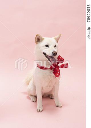 ピンクバックで赤いリボンを首に巻いて笑う柴犬 76990858