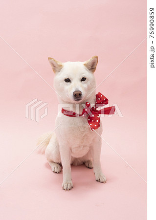 ピンクバックで赤いリボンを首に巻いた柴犬 76990859
