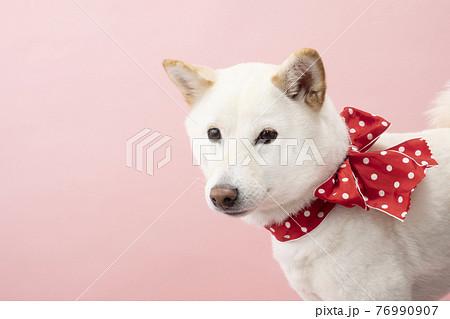 ピンクバックで赤いリボンを首に巻いた柴犬 76990907