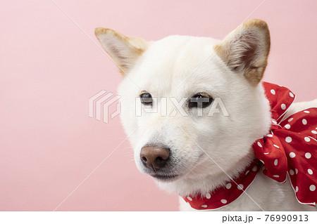 ピンクバックで赤いリボンをつけた柴犬のバストアップ 76990913
