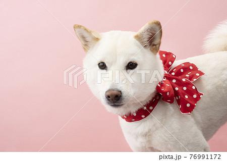 ピンクバックで赤いリボンをつけた柴犬のバストアップ 76991172