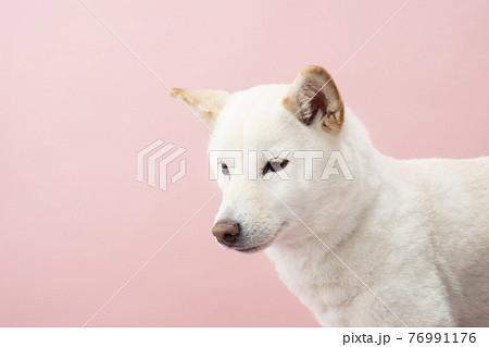 俯いた柴犬のバストアップ 76991176