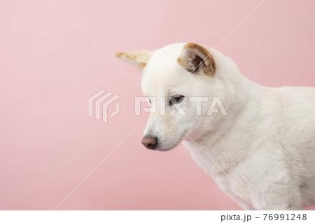 俯いた柴犬のバストアップ 76991248