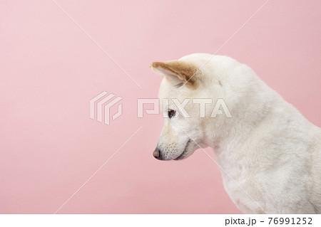 俯いた柴犬のバストアップ 76991252