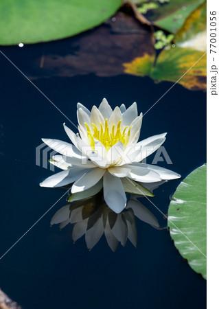 青空を映す池に咲く一輪の白い睡蓮の花 77001056