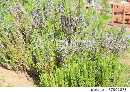 ローズマリーの花 77001073