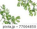 新鮮なパクチーの白背景フレーム 77004850
