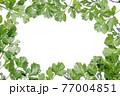 新鮮なパクチーの白背景フレーム 77004851