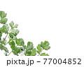 新鮮なパクチーの白背景フレーム 77004852