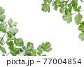 新鮮なパクチーの白背景フレーム 77004854