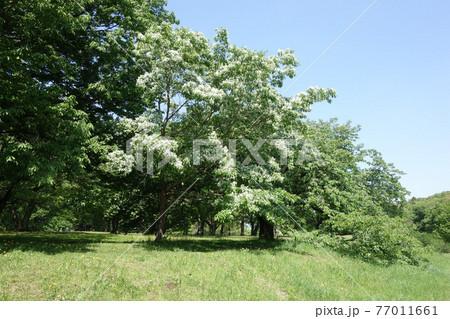 都立野川公園のヒトツバタゴ(ナンジャモンジャ)の花/柳橋付近 77011661
