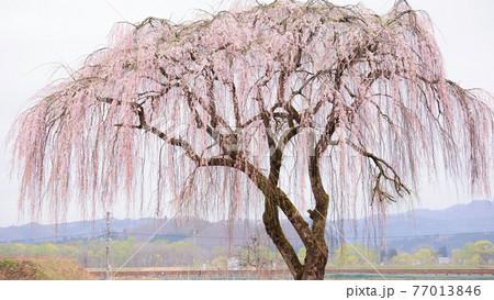 田沢湖線沿線に咲く優雅な枝垂れ桜 秋田県 77013846