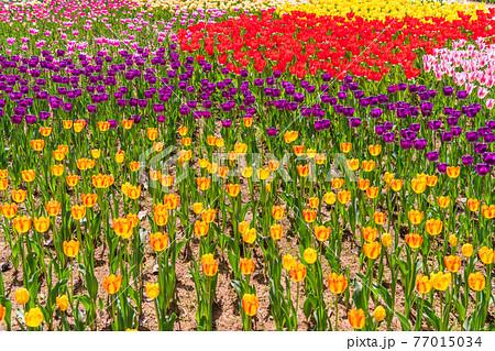 チューリップ・春イメージ 77015034