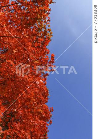 秋の真狩 77018309