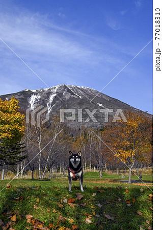 黒柴と秋の羊蹄山 真狩 77018310