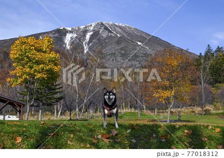 黒柴と秋の羊蹄山 真狩 77018312
